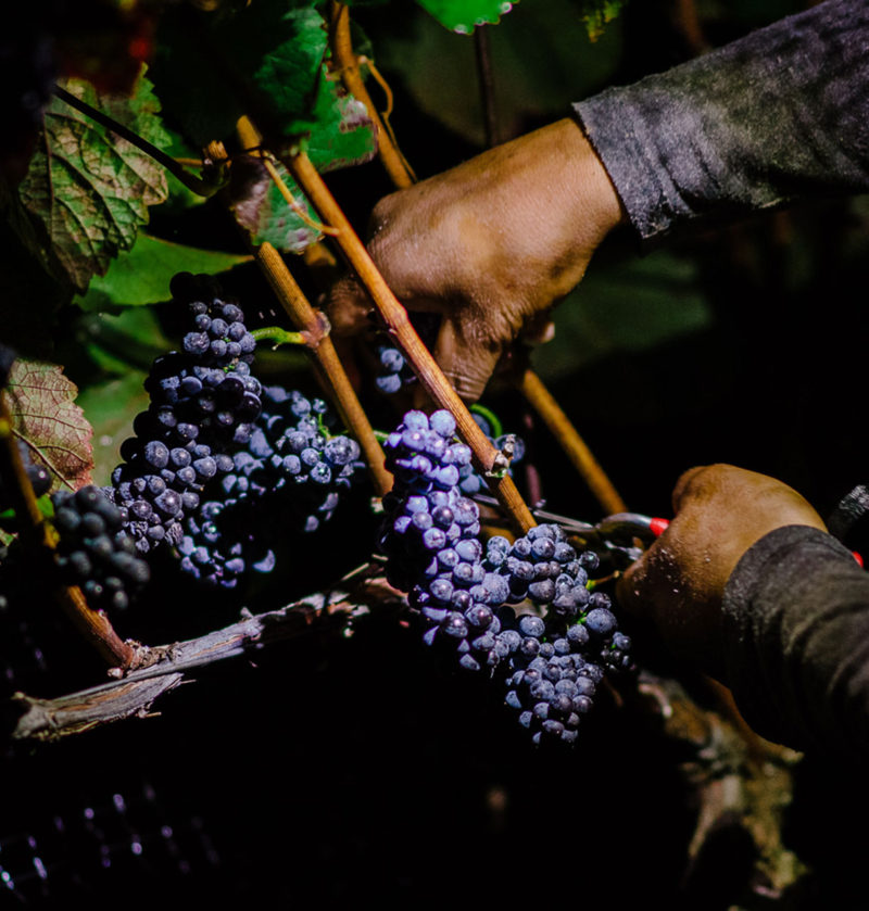Cushing's Block night harvest for Pinot Noir